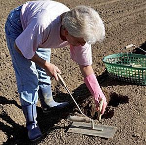 Asperge : planter et cultiver Ooreka